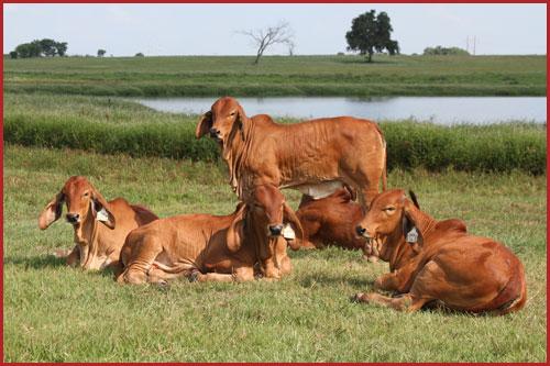 Calves-Picture-12